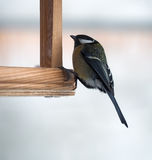 Tit with green plumage is sitting at  feeder. Tit with green plumage is sitting at the feeder Stock Photos