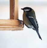 Tit with green plumage is sitting at feeder. The Tit with green plumage is sitting at feeder Stock Photography