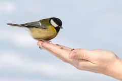 Tit on the hand Stock Photography