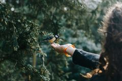 Tit landing on the hand of a young woman to be fed. Cute great tit landing on the hand of a young woman to be fed royalty free stock photos