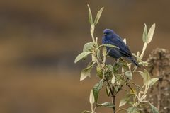 Tit like dacnis on a branch. This is a photo of a beautiful tit like dacnis, taken in national park cajas, Ecuador stock photography