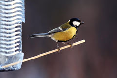 Tit little bird on a stick yellow Royalty Free Stock Photo