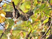 Tit Long-tailed Imagen de archivo libre de regalías
