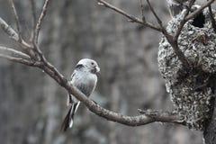 Tit Long-tailed Fotografia Stock