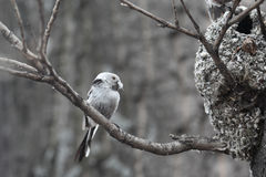 Tit Long-tailed Fotografía de archivo