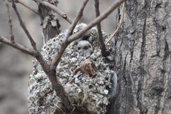 Tit Long-tailed Immagini Stock Libere da Diritti