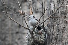 Tit Long-tailed Fotos de archivo