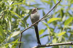 Tit Long-tailed Imagen de archivo