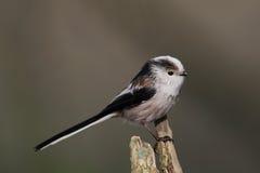 Tit Long-tailed Fotografía de archivo libre de regalías