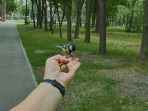 A tit on a man`s hand. Is fed with donut crumbs in a city park stock photography