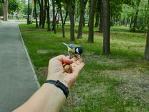 A tit on a man`s hand. Is fed with donut crumbs in a city park stock photos