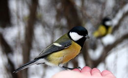 Tit on my hand Royalty Free Stock Image