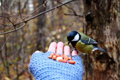 Tit on my hand. Tit feeding on my hand Stock Images