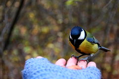 Tit on my hand. Tit feeding on my hand on blur autumn forest background Royalty Free Stock Photography
