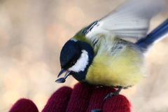 Tit on my hand Royalty Free Stock Photo