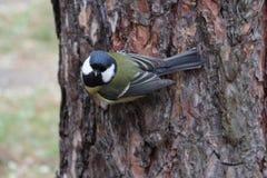 Tit na drzewie Fotografia Royalty Free