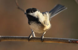 Tit in nature stock photography