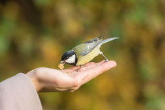 Tit with nut Stock Images
