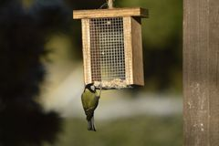 Tit, observación de pájaros preciosos Imagen de archivo libre de regalías