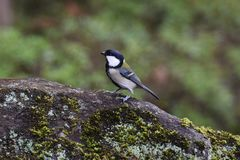 Tit. Is an omnivorous bird that eats fruits and insects, making nests in wood holes and so on stock images