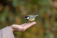 Tit on palm Royalty Free Stock Photos