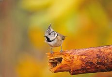Tit, Parus cristatus. Tit perched on a branch Royalty Free Stock Photography