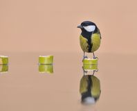 Tit, Parus major. Tit reflected in the water Royalty Free Stock Images