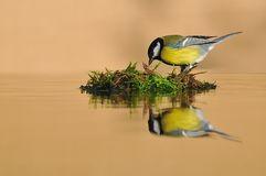 Tit, Parus major. Tit reflected in the water Stock Photography