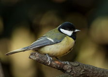 Tit (Parus major) Stock Photos