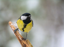Tit - Parus major Royalty Free Stock Images