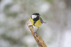 Tit - Parus major Stock Photo