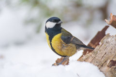 Tit - Parus major Stock Photography