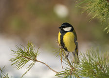 Tit - Parus major Royalty Free Stock Photography
