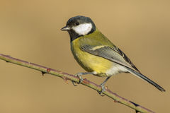 Tit ,( Parus major ) Royalty Free Stock Photography