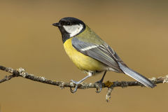 Tit ,( Parus major ) Royalty Free Stock Image