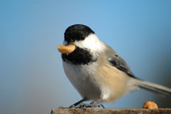 Tit and peanut. Black tit pick a peanut in sunny day Stock Photos