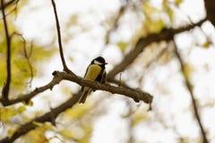 Tit que se sienta en el árbol Imagen de archivo libre de regalías