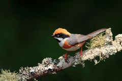 Tit Red-headed Fotografia Stock