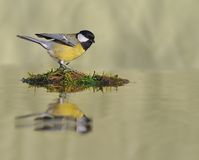 Tit in the river. Tit perched above the river moss Stock Image