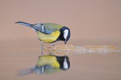 Tit in the river. Tit perched above the river Royalty Free Stock Image
