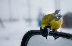 Tit on the side mirror of the car looks in the mirror stock images
