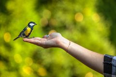 Titmouse on hand, care of nature stock photography