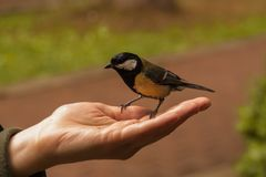 Titmouse sits on the open palm of a woman. tit eats sunflower seeds from human hand. people feed the birds stock image