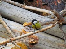 Tit sitting on a dry branch on the background of felled trees stock images