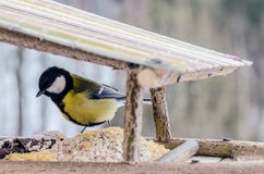 Tit - a small, lively, intelligent, clever, brave and always enterprising birds. Tit - a small, lively, intelligent, clever, brave and always enterprising birds Royalty Free Stock Images