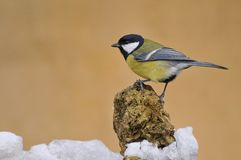 Tit in the snow. Tit perched on a rock in the snow Royalty Free Stock Photos