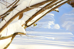 Tit on snowy branch Stock Photos