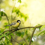 Tit in spring Stock Photography