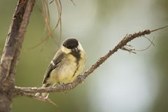 Tit standing on a branch Royalty Free Stock Photos