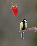 Tit and  strawberry fox and grapes like. Great tit looking on ripe strawberry Royalty Free Stock Photos